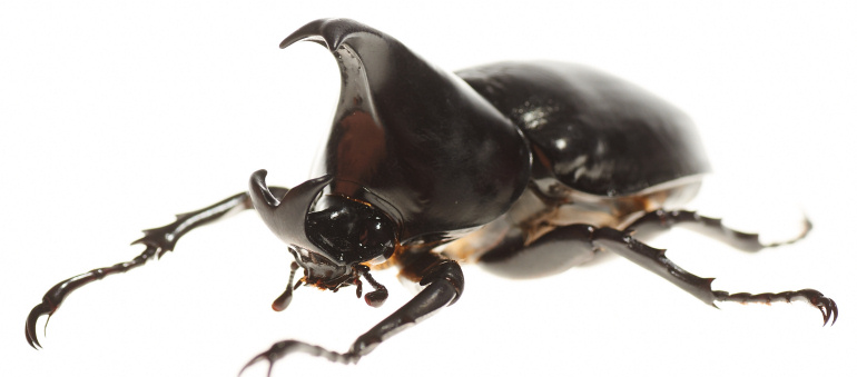 rhinoceros beetle Rhinoceros beetle: rhinoceros beetle, (subfamily dynastinae), any of numerous species of beetles, some of which are among the.
